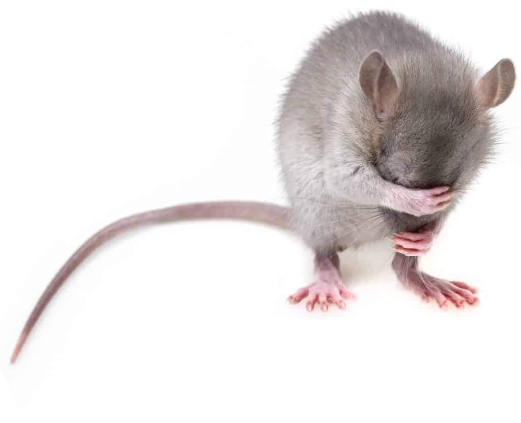 עכבר מכסה עיניים